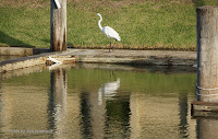 Great egret, Aransas Bay, TX, by Jodi Arsenault, Feb. 19, 2017