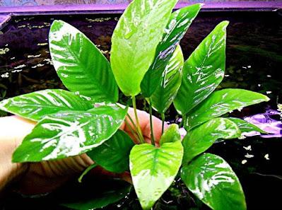 Best Pond Plants: Submerged Aquatic Plants
