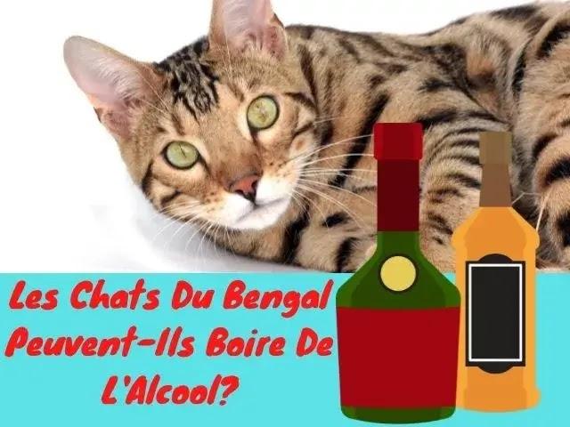 Les Chats Du Bengale Peuvent-Ils Boire De L'Alcool?