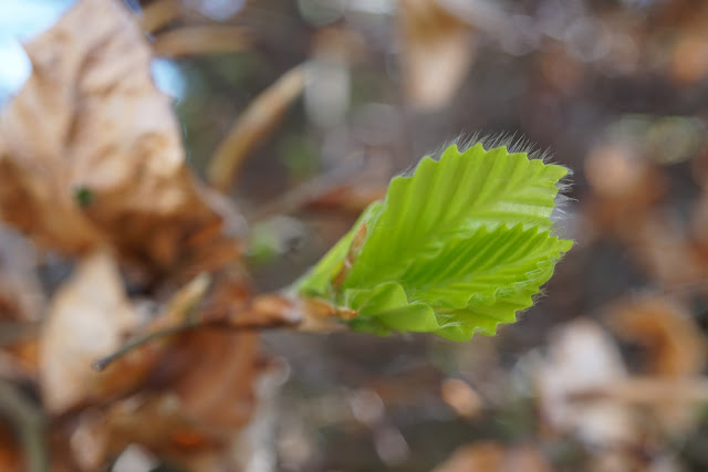 fresh new beech leaves- a stubborn optimist blog - C. Gault 2020