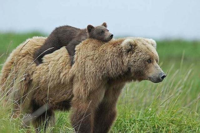 Несколько милых фотографий медведиц с детьми