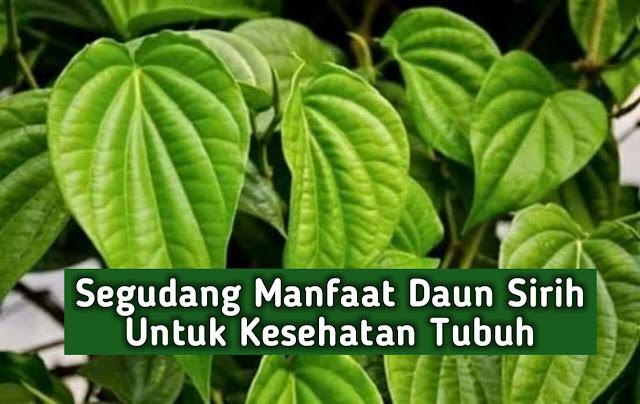 Segudang manfaat daun sirih untuk obati berbagai macam penyakit