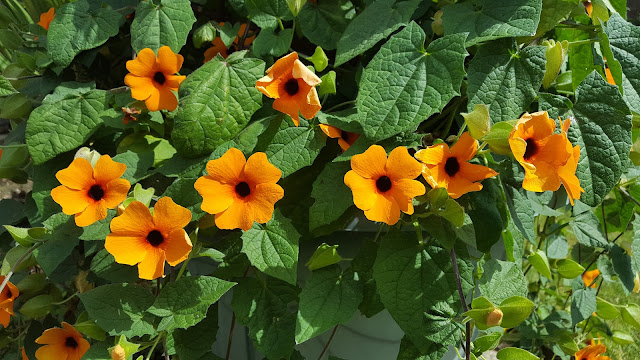 large specimen of Black-Eyed Susan vine - Thunbergia alata with orange flowers