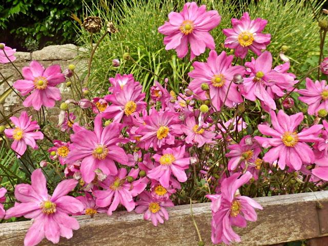Pink flowers in Victoria Gardens, Cornwall