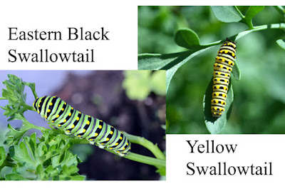 eastern black and yellow swallowtail caterpillars