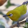 Kacang Ijo Yang Di Kukus Untuk Pakan Burung Pleci