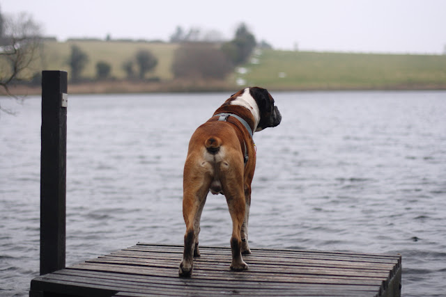 boxer dog on a pier