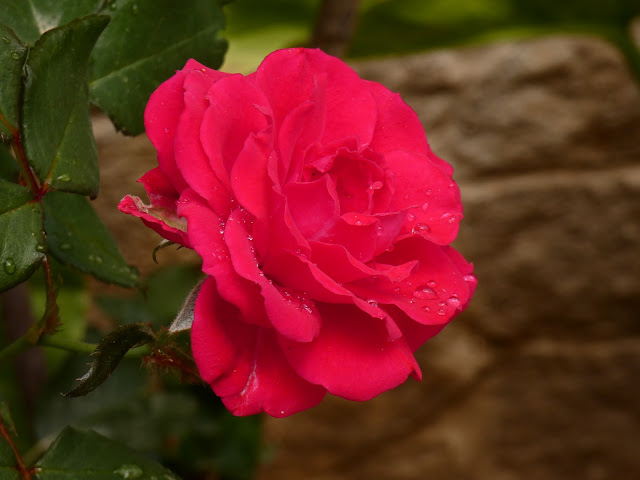 Red rose - Sincerely Loree