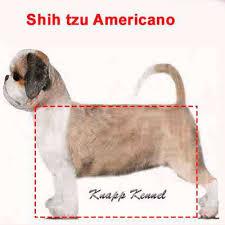 padrão americano shih tzu