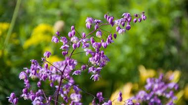 Thalictrum, plantas con movimiento y delicadas flores en verano
