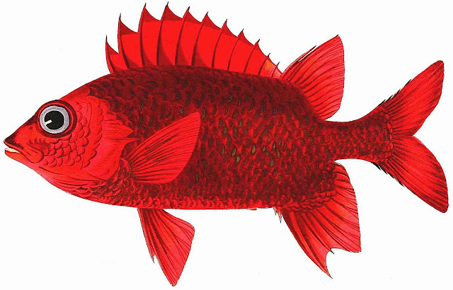 a John Whitchurch Bennet illustration of a red fish