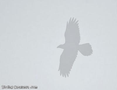 Corb volant envoltat de boira