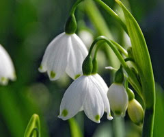 Tiny bells of leucojum flowers.