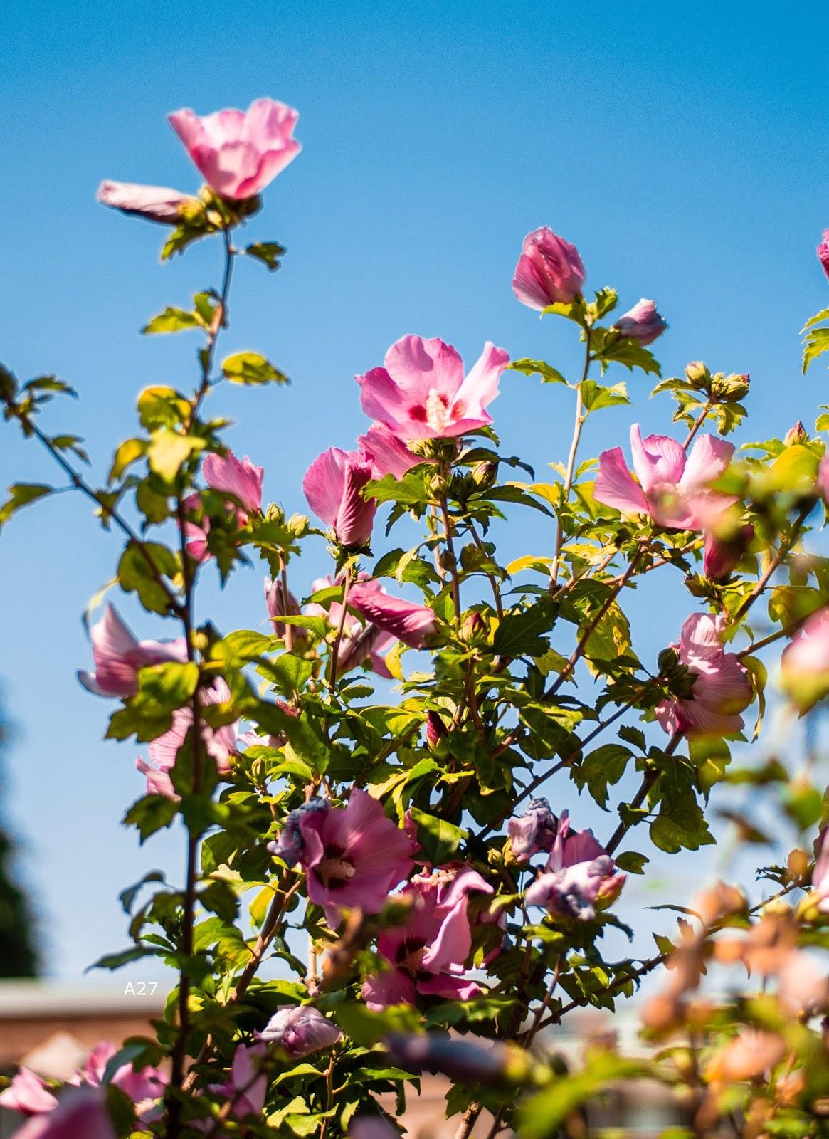 PINK SUMMER FLOWERS | ANNA TWENTY SEVEN 🌷