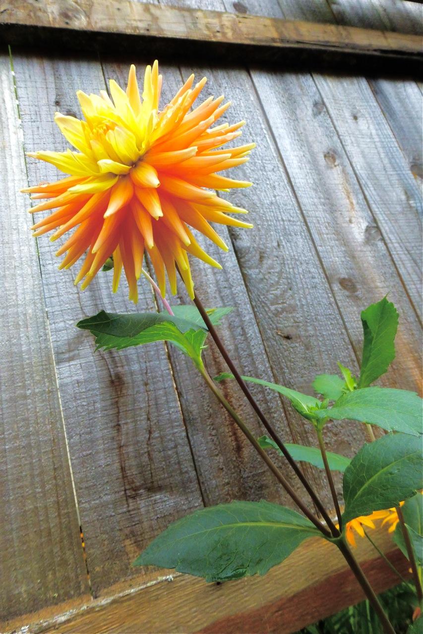 dahlia, perennial, summer garden