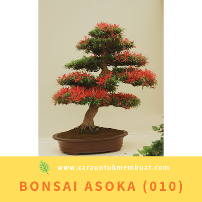 Bonsai Asoka (010)