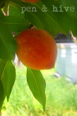 peach and beehives