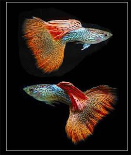أسماك الطاووس الصينية الرائعة الجمال سبحــــــان الله image0022-724209.jpg