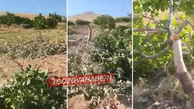 200 fıstık ağacı katledildi