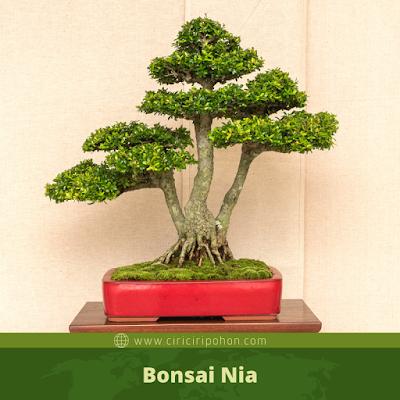 Bonsai Nia