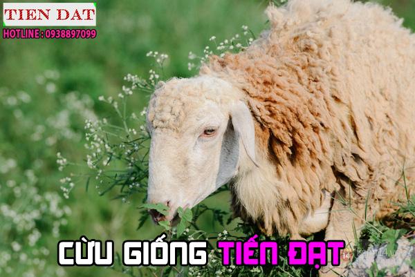 Cừu Phan Rang Ninh Thuận