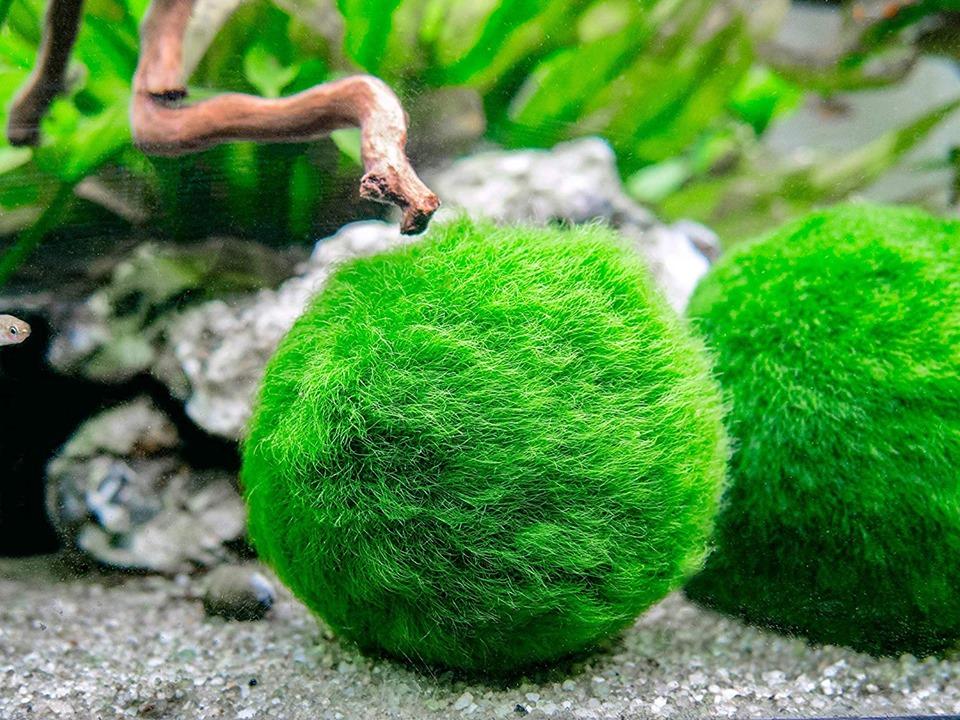 Cận cảnh vẻ đẹp của quả cầu rêu Moss Ball trong bể thủy sinh