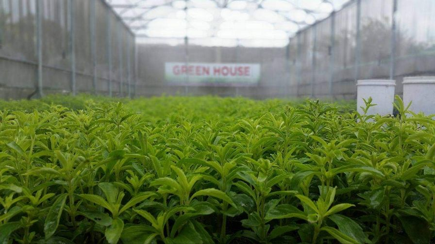 Stevia plant in the Philippines