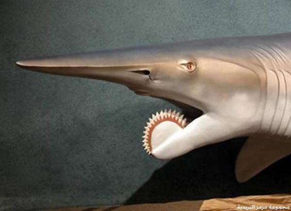 requin vortex :