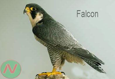 falcon bird, বাজপাখি