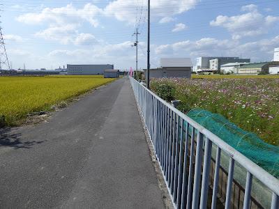 高槻市 三島江のコスモスロード