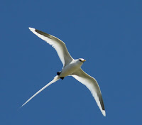 White-tailed Tropicbird in flight, view from under – Kerala – Feb. 2012 – photo by Yooshau