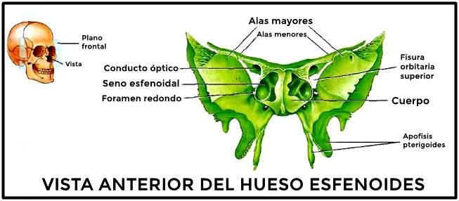 Vista anterior del hueso esfenoides