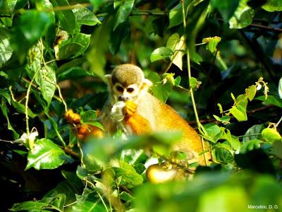 Macaco de Cheiro, Mão de Ouro, Saimiri sciureus, Macaco, macacos da amazônia, Saimiri, Monkey, mico, animal, que bicho é, macaco alimentando