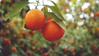 Branch Orange Tree Fruits