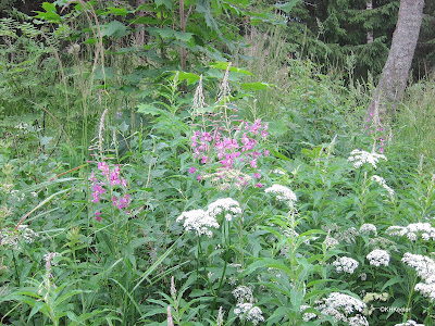 forest in central Finland, willow herb and an umbel