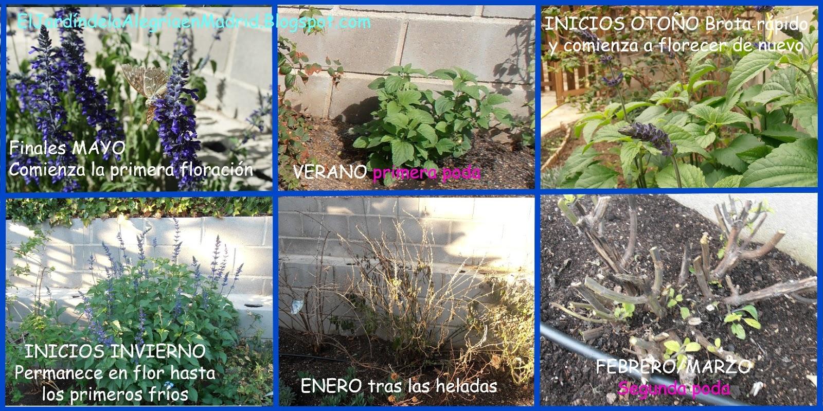 El jardn de la alegra Poda de tres tipos de Salvia arbustivas