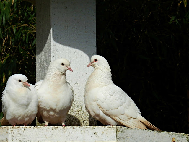 Doves at the Lost Gardens of Heligan, Cornwall