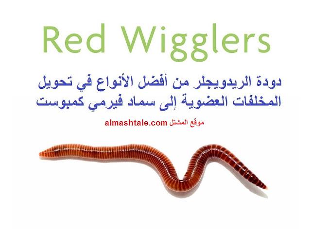 دود red wigglers