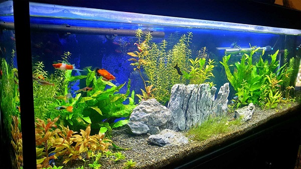 How to keep betta fish in a community tank