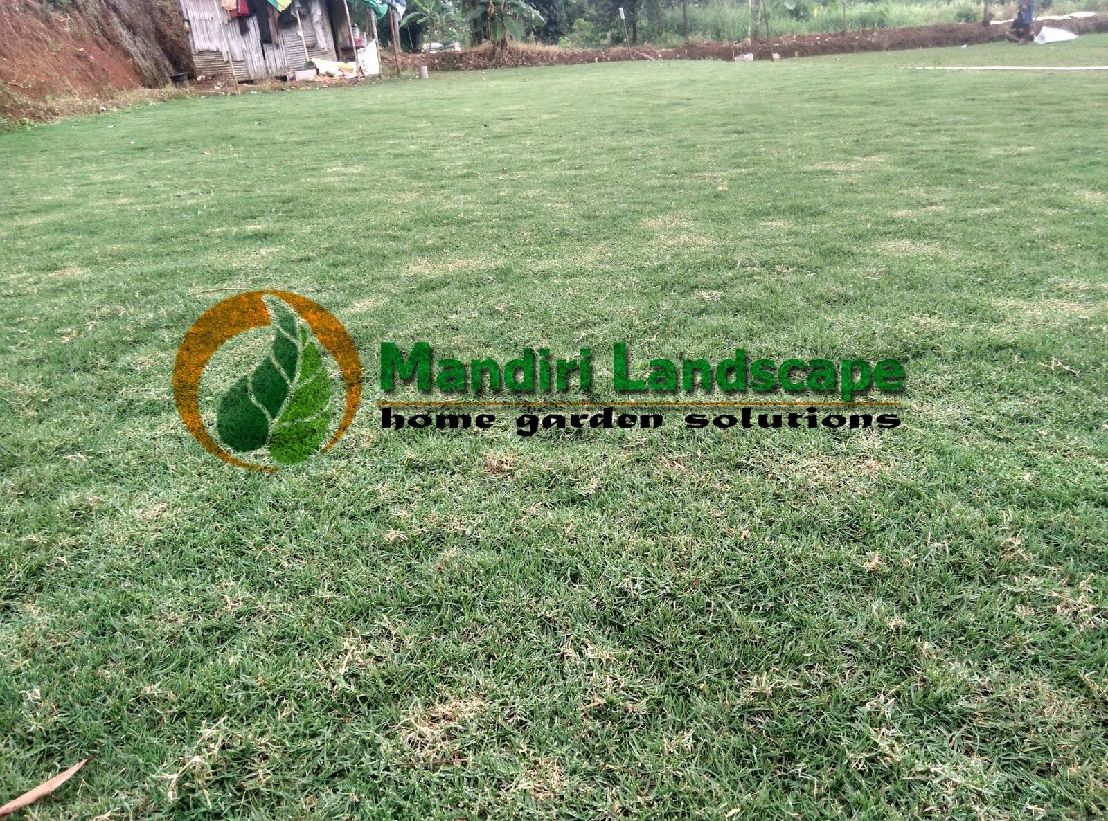 Supplier Benih Rumput Biji Grass Seed Jual Lapangan Bola Ditanam Pada Golf Banyak Juga Yang Menggunakan Ini Sebagai Taman Agar Terlihat Bagus Dan Subur Perlu Pemangkasan
