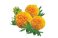 สารสกัดจากดอกดาวเรือง Marigold Extract