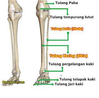 Perbedaan Tulang Kering dan Tulang Betis