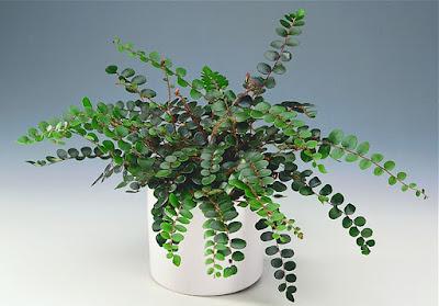 https://naradka.files.wordpress.com/2012/01/pellaea-rotudifolia.jpg?w=750&h=523