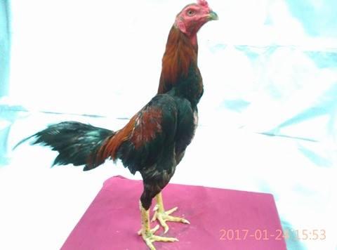 Tips Merawat Anak Ayam Bangkok Supaya Tumbuh Cepat Besar