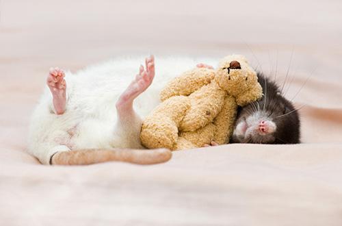 Fotografia de rata
