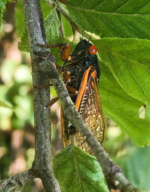 Brood X Cicada in east Tennessee