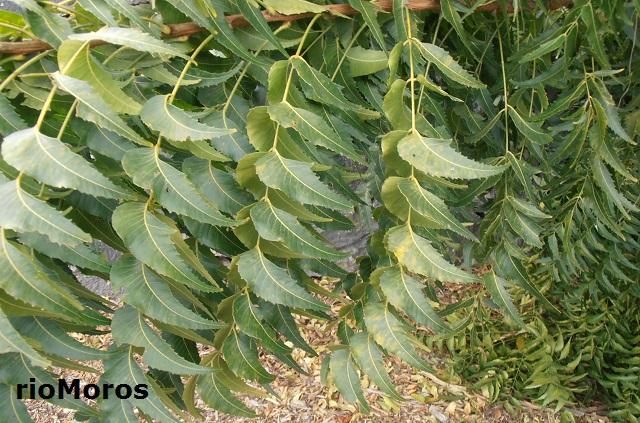 Árbol del Nim Azadirachta indica