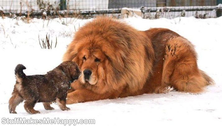 5. Father and son Tibetan Mastiffs Dogs
