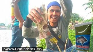 Umpan Ikan Nila Khusus Di Sungai