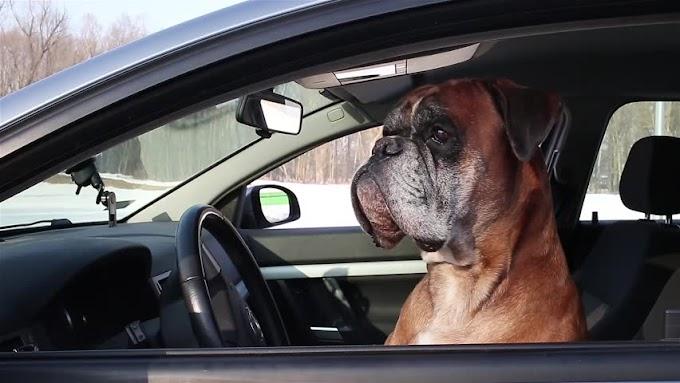 Σκύλος βαρέθηκε να περιμένει στο αμάξι κι άρχισε να κορνάρει - video